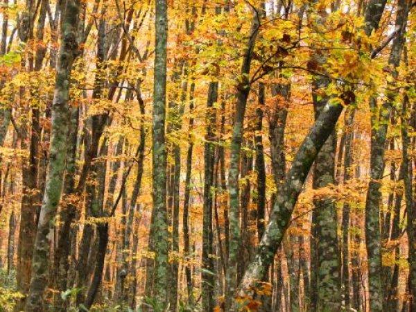 画像1: ブナノキ(橅の木)苗 (1)