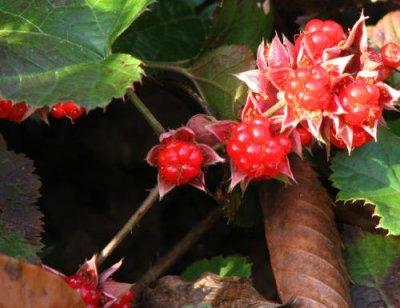 画像3: ミヤマフユイチゴ(深山冬いちご)寄せ植え