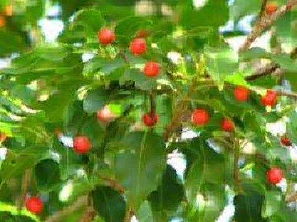 画像1: ソヨゴ雌木(結実木)苗 (1)