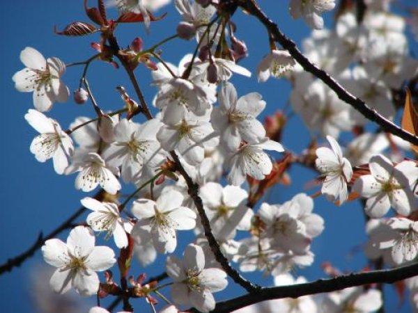 画像1: ヤマザクラ(山桜)苗 (1)