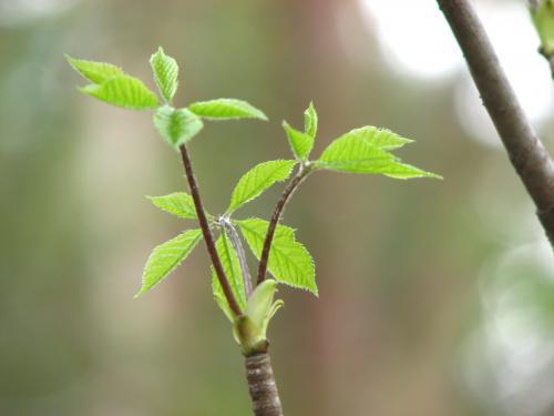 コシアブラ(漉油)苗                                                                                                                    明るい落葉林内や林縁に自生しています。樹皮は灰褐色、葉は8〜30cmで長い葉柄の先に5枚の小葉がつきます。春先葉の開く前の新芽を食用にします。