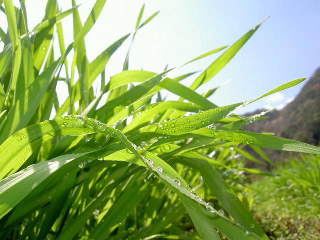 「大麦若葉」の画像検索結果
