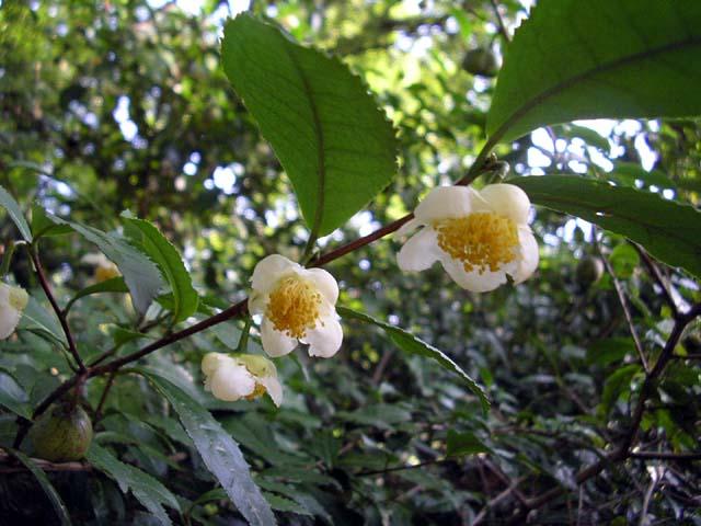 チャノキ(茶の木)苗|植木・庭...